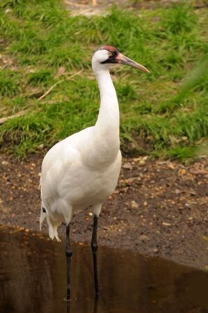 wade: Endangered, rare Whooping Crane (Grus americana) wading the edge of a stream. Stock Photo