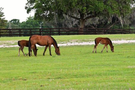 paddock: A mare with her two colts grazing on the green grass in the paddock.