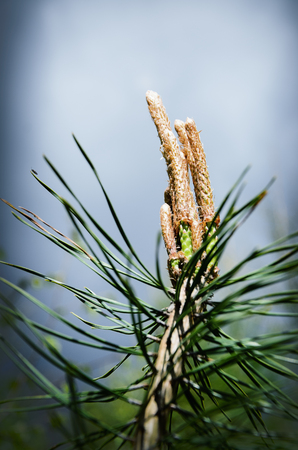 Young shoots of pine in a forest
