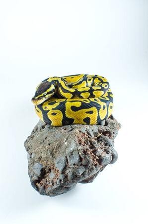 python: snake ball python on rock Stock Photo