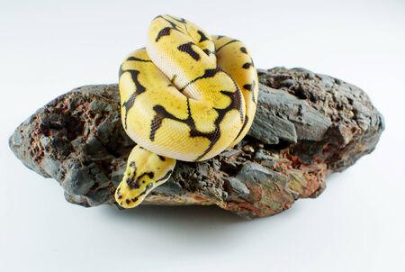 python: snake ball python Stock Photo