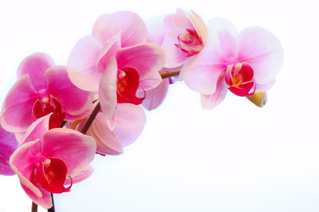 red orchid: Violet orchid flowers Stock Photo