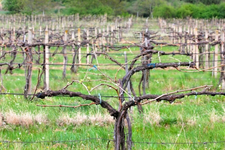 sprouted: Young pruned vineyard in the beginning of spring Stock Photo