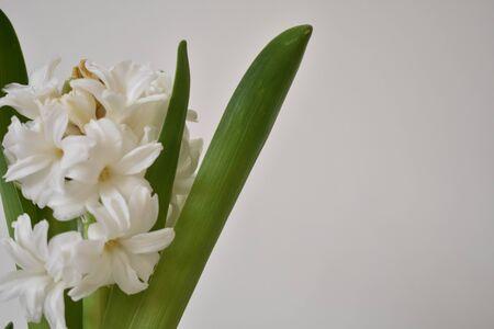 White Hyacinth on White Background