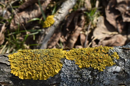 Yellow and white mold on the Bark of Tree Stock Photo