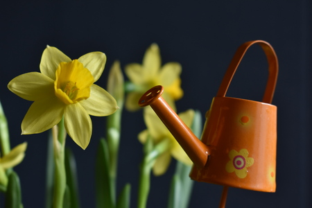 Yellow Narcissus with little orange Watering Can on the black Background