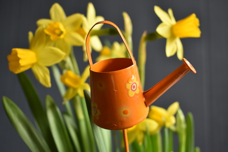 Yellow Narcissus with little orange Watering Can on the Gray Background Reklamní fotografie