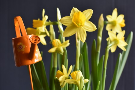 Yellow Narcissus with small orange Watering Can on the Gray Background