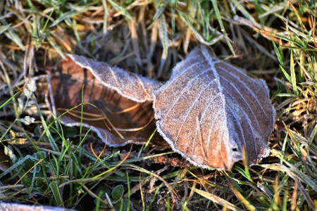 First Hoarfrost on the Beech Leaf in the Forest