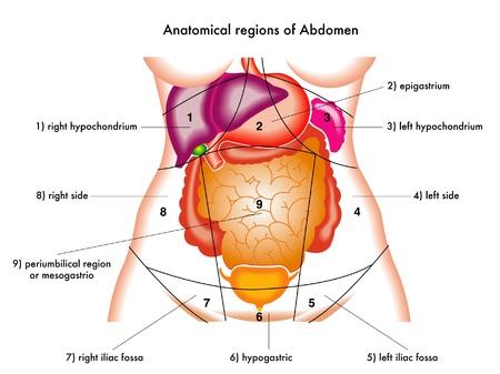 Ilustración de las regiones anatómicas del abdomen