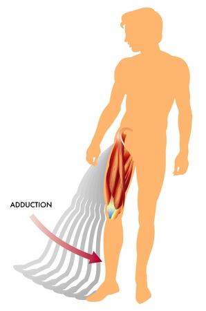 leg muscle: Ilustraci�n del movimiento de la aducci�n de la pierna
