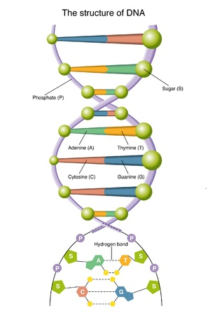 dna double helix: DNA