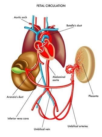 inferior: fetal circulation