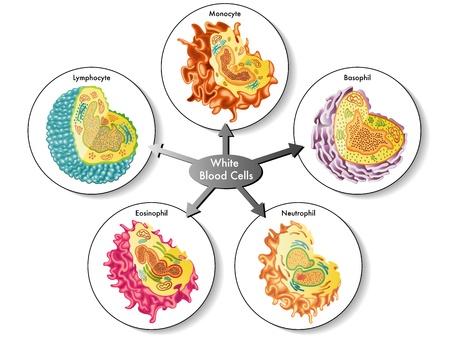 globulos blancos: Las células blancas de la sangre