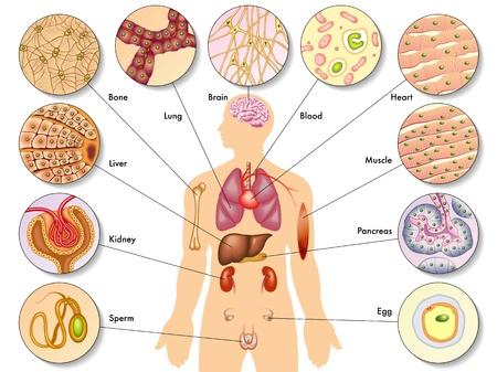 trzustka: Ludzkie komórki ciała Ilustracja