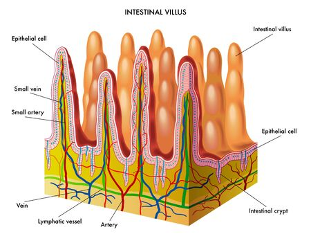 crypt: intestinal villus Illustration