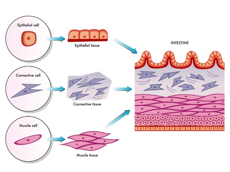 muscle cell: Intestinal wall cells