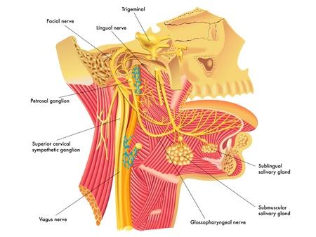 laringe: Los nervios aut�nomos en la cabeza Vectores