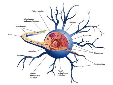 zenuwcel Vector Illustratie