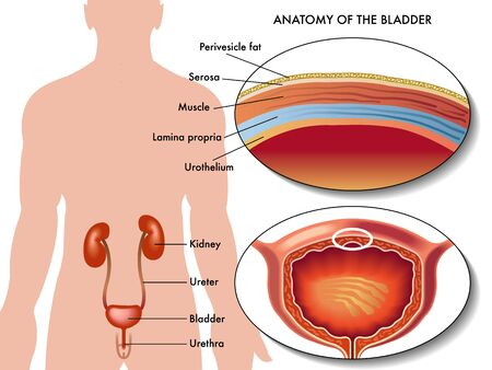 uretra: vejiga masculina Vectores