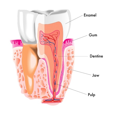 oral cavity: tooth