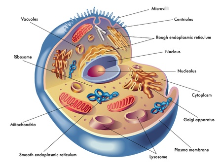 hormonen: menselijke cel