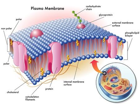 membrana cellulare: membrana plasmatica Vettoriali
