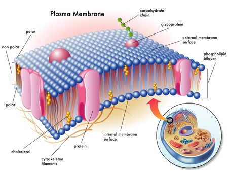 enzymes: plasma membrane Illustration