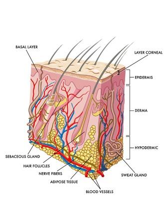 epiderme: peau Illustration