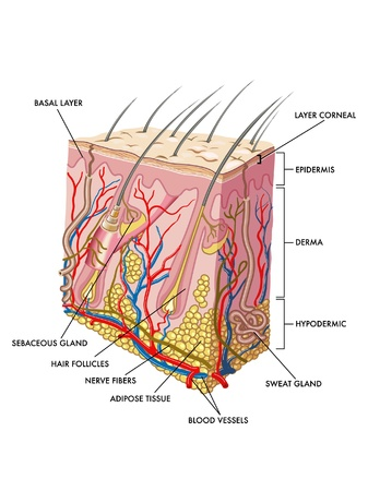 epidermis: skin
