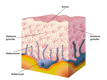 collagen: suntan Illustration