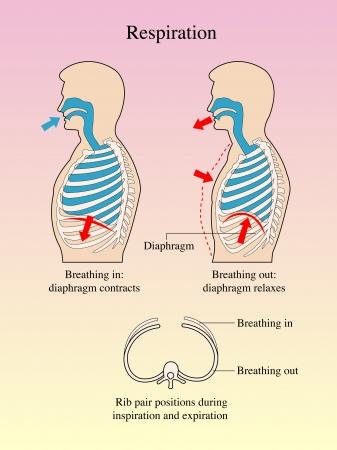 klatki piersiowej: Oddychanie