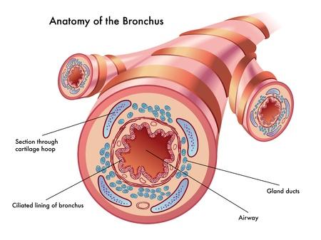 anatomia del bronco