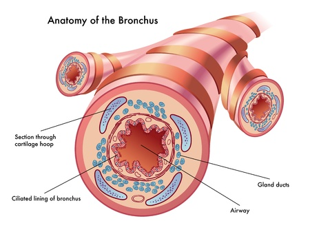 mucus: anatomy of the bronchus