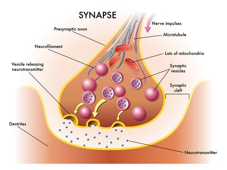 vesicles: synapse