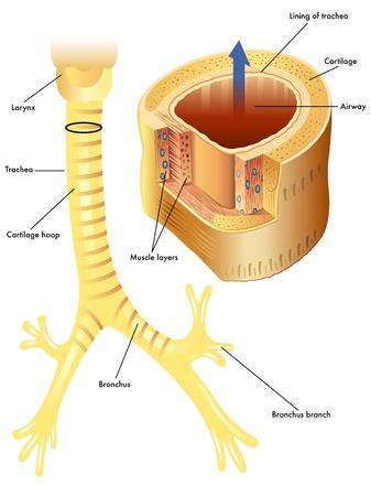 Anatomía de la tráquea Ilustración de vector