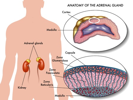 adrenaline: adrenal gland Illustration