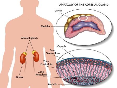 adrenal gland Vettoriali
