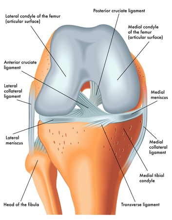 cartilage: Front view of the right knee in flexion