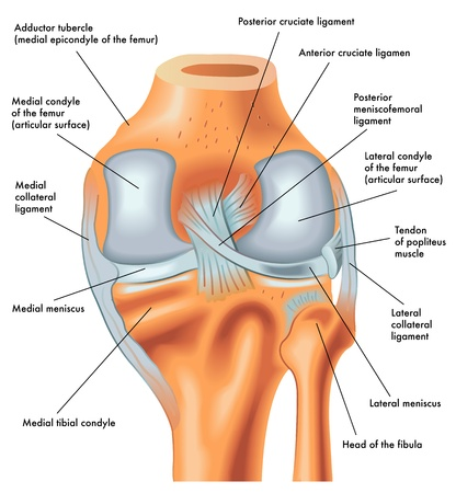 Posterior view of the right knee in extension Ilustrace