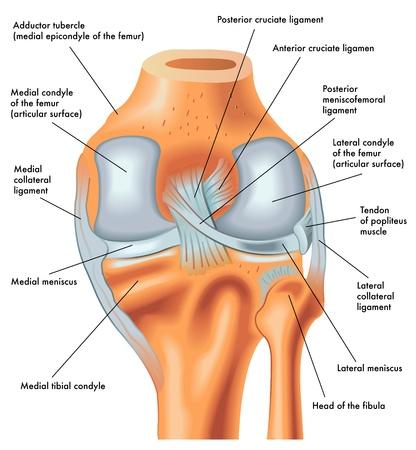 Vista posterior de la rodilla derecha en extensión
