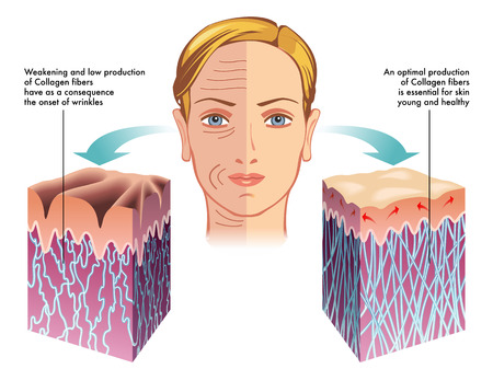 epidermis: collagen Illustration