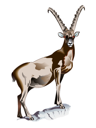 Alpine Ibex Illustration