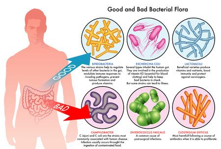 bacterial: flora batterica intestinale Vettoriali