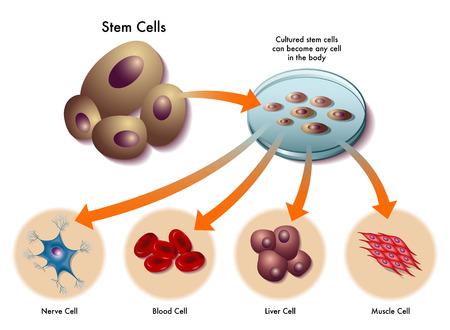 komórek macierzystych Ilustracje wektorowe