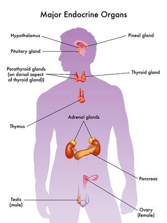 hormonen: endocriene systeem Stock Illustratie