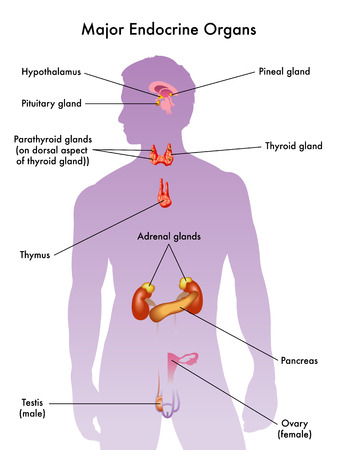 Sistema endocrino Foto de archivo - 31930432