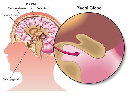 glande pinéale Illustration