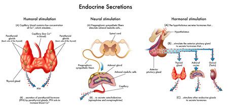 suprarrenales: secreciones endocrinas Vectores
