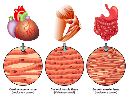 muscle cell: muscle tissue